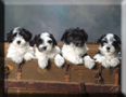 Havanese Puppies - link to breeder directory list